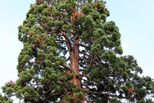 Sequoiadendron giganteum (3)