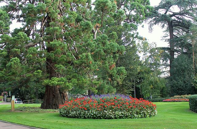 Sequoiadendron giganteum (5)