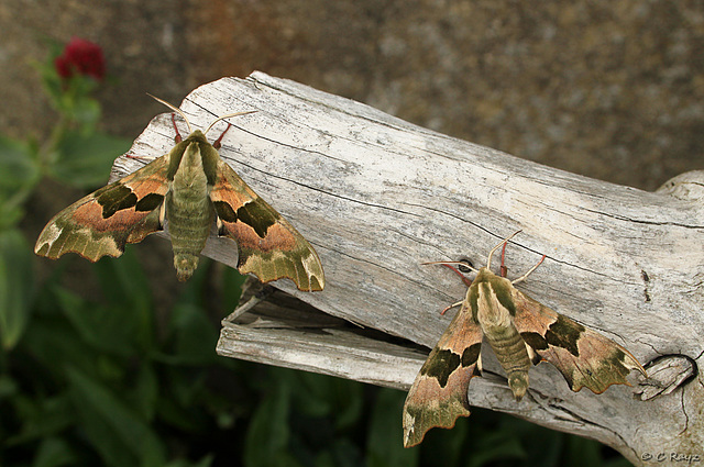 Lime Hawk-moth Two For One