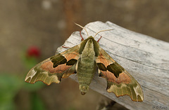 Lime Hawk-moth
