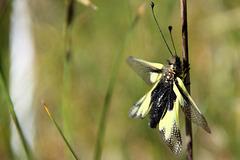 Ascalaphe soufré, Libelloides coccajus = Libelloides libelloides, Owlfly sulfur