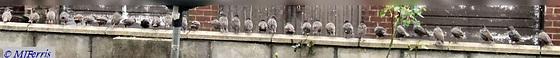 starlings 02