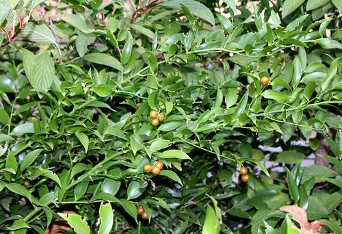 Ruscus racemosus = Danae racemosa