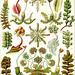 Auteur : Haeckel ( domaine public)- planche 82 Hepaticae
