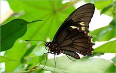 Polydamas Swallowtail (Battus p. polydamas)...
