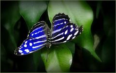Blue-banded Purple Wing ~ Blue Wave Butterfly  (Myscelia cyaniris)...
