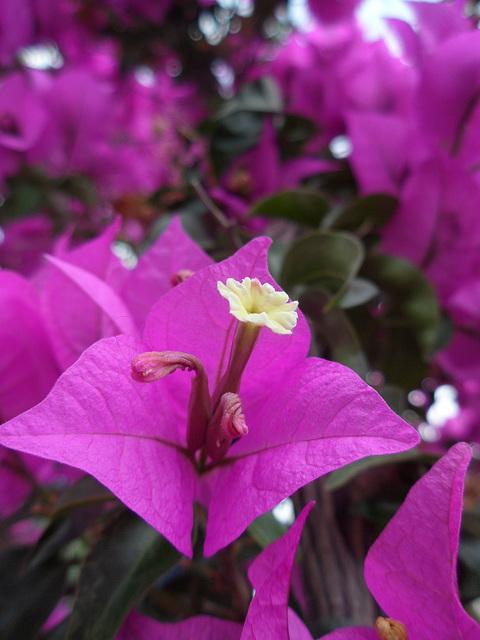 Bougainvillea - Purple