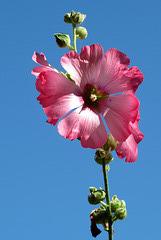 A Paimpol, rose et bleu