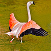 Flamingo / Flamand rose