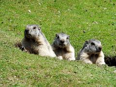 Familie Murmeltier (Marmota). ©UdoSm