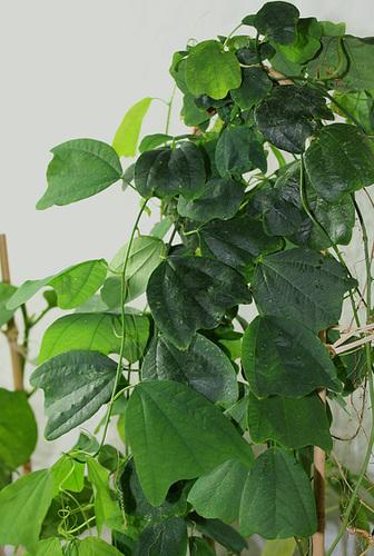 Passiflora tulae