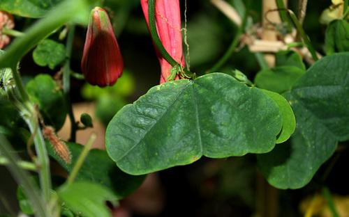 Passiflora murucuja (3)