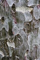 Pinus bungeana (Chine), pin Napoleon, Pinacées
