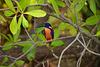 Azure kingfisher...Alcedo azurea