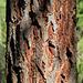 Ecorce de mélèze (mélèze d'Europe, Larix decidua, Pinacées), Valais (Suisse)