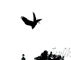 Falcon Stooping - Silhouette