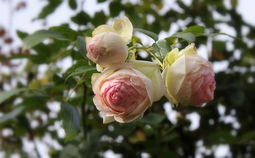 Rose 'Pierre de Ronsard'-001