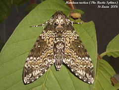 SL72J Manduca rustica (Rustic Sphinx) adult