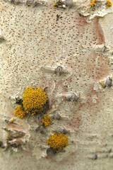 Ecorce de bouleau avec ornement de lichen (Myvatn, Islande), Betula (sp?), Betulacées