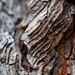 Ponderosa Pine Bark Layers