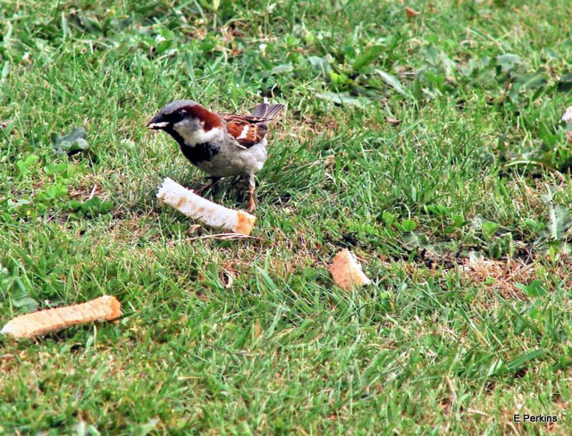 Sparrow with crusts.