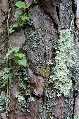 Lichen sur écorce