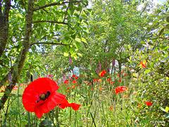 Red poppies flourish