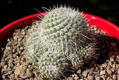 Gem Spine Pincushion (Mammillaria geminispina)