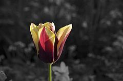 BESANCON: Parc Micaud: Une tulipe (tulipa).