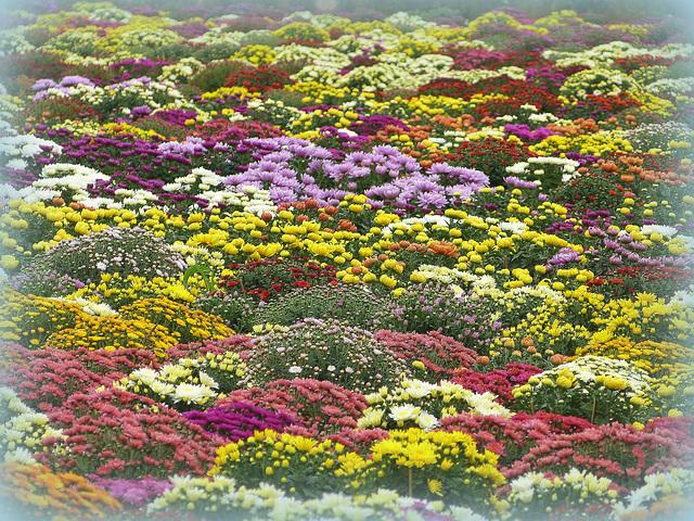 ...champ de chrysanthèmes...