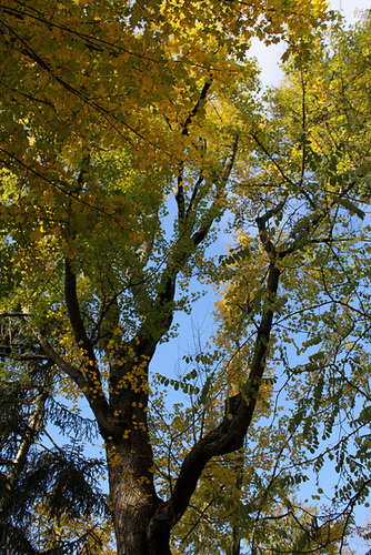 Acer campestre (4)