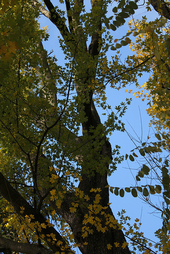 Acer campestre (5)