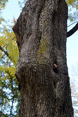 Acer campestre (7)