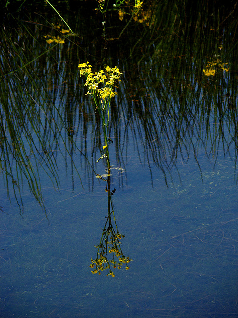 Reflection - Yellow flowers