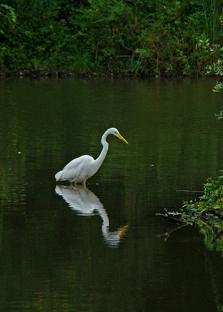 Reflection - Great egret