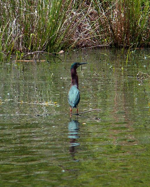 Green heron #2