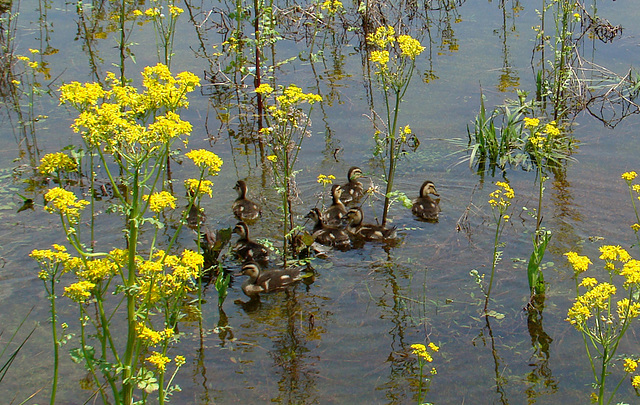 Ducklings swimming among flowers