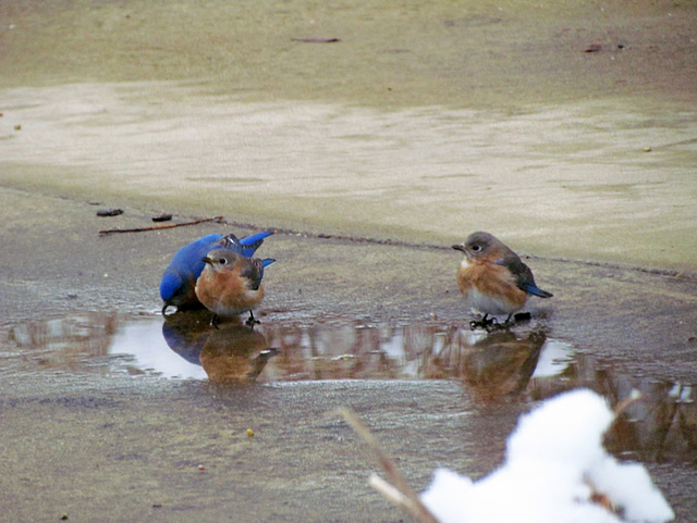 Bluebirds drinking