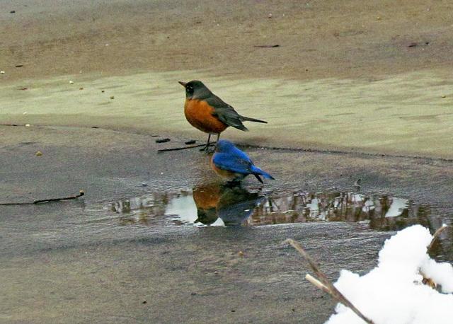 Robin and Bluebird