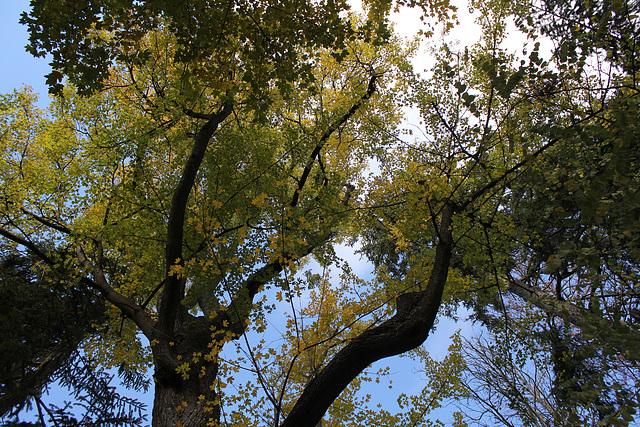 Acer campestre (9)