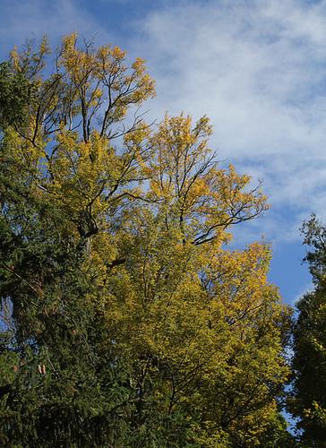 Acer campestre (11)
