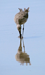 Willet (Summer Plummage)