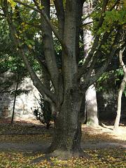 Acer campestre (13)