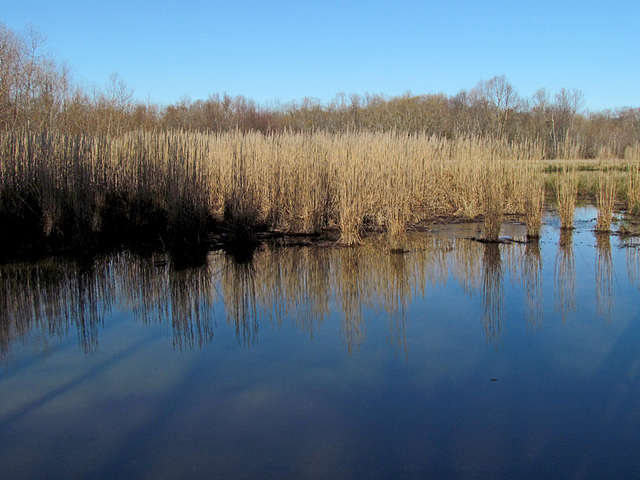 Reflection of Rushes
