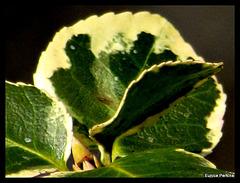 Fan of Leaves.