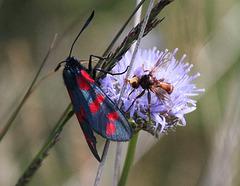 Widderchen und Breitstimblasenkopffliege