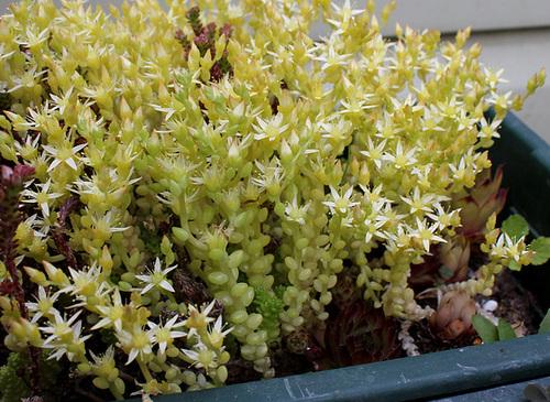 Sedum acre à fleurs blanches