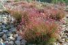 Fleurettes roses du nom de Gaura lindheimeri