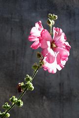 A Paimpol (pem-poull), rose et gris (Alcea rosea = rose trémière, passe-rose, passerose, primerose - Malvacées)