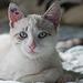 Cat 142 - Samson
